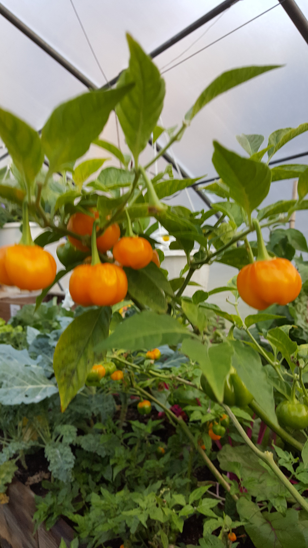 Orange peppers growing at MV Greenhouse