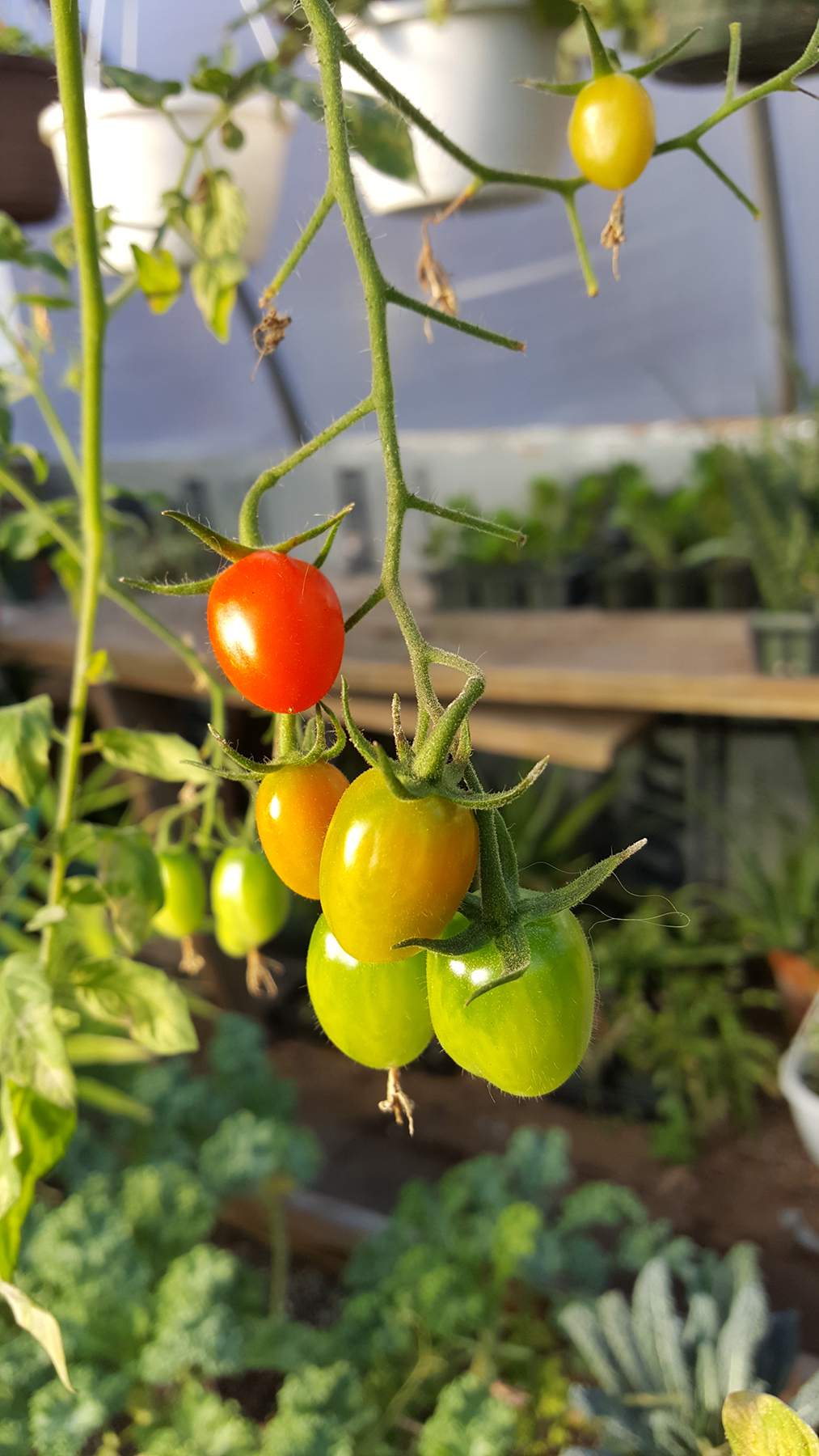 Tomatoes growing at MV Greenhouse